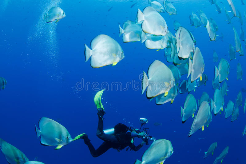 School of batfish and photographer. School of batfish in the red sea and photographer in the background royalty free stock photos