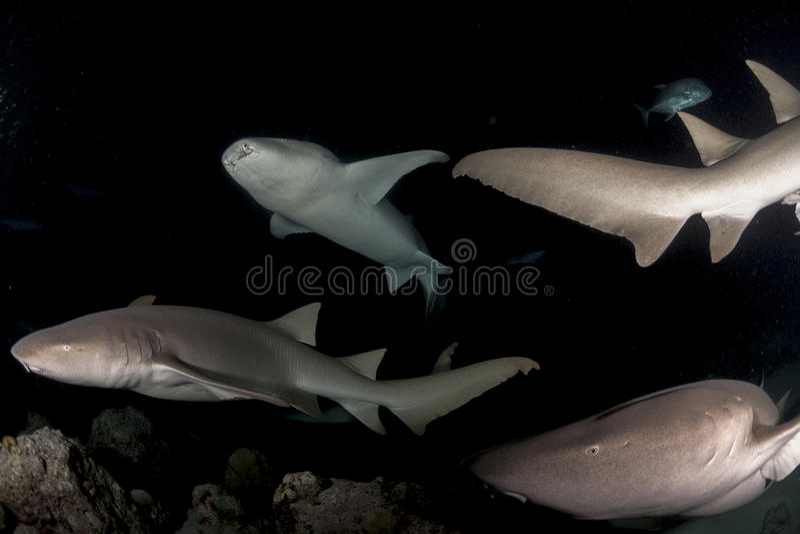 School of big nurse shark royalty free stock image