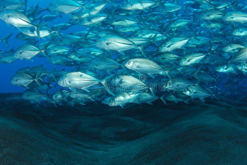 School Of Bigeye Jack Fish Royalty Free Stock Images