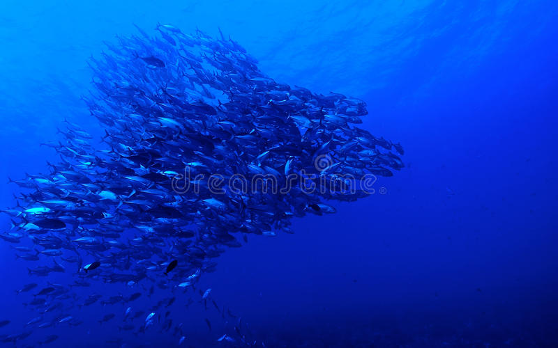 School of Bigeye jack fish (Caranx sexfasciatus) royalty free stock photography