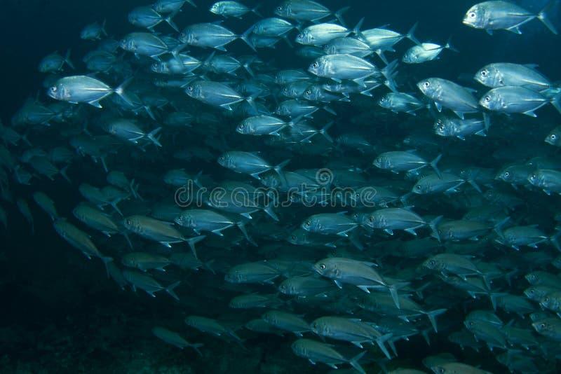 School of blue fish royalty free stock image