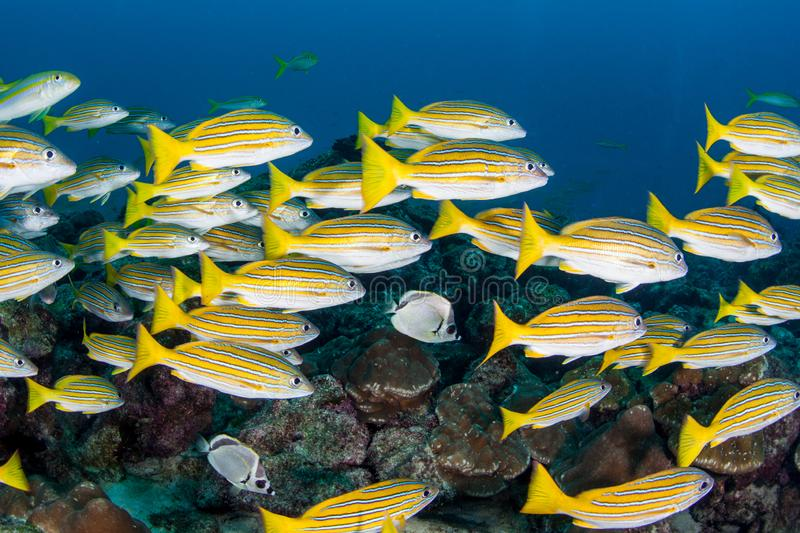 Blue Striped Snapper at Cocos Island royalty free stock images