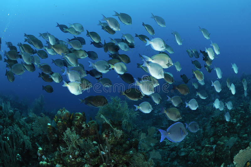 School of blue tang fish royalty free stock photography