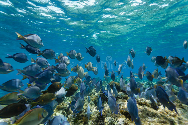 School of blue tang fish, acanthurus coeruleus, swimming on the coral reef stock images