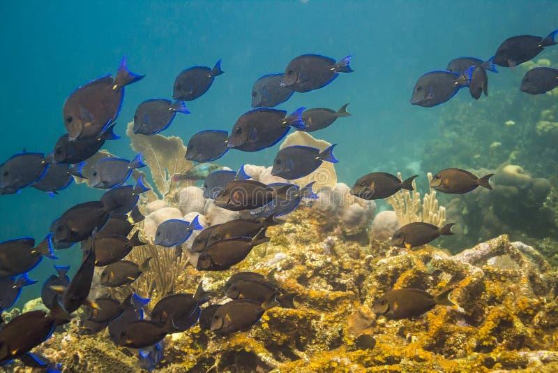School of blue tang fish royalty free stock photo