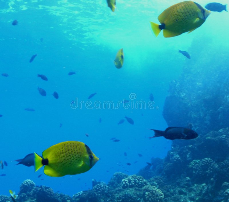 School Of Butterflyfish Stock Photo
