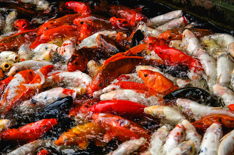 A school of colourful koi fish frantically and chaotically competing for food in a pond. royalty free stock photo