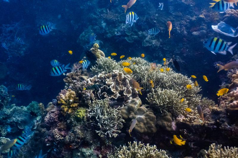 School of coral fishes in a shallow coral reef royalty free stock photo
