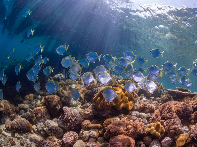 School of diamondfish on a pristine tropical coral reef stock photos