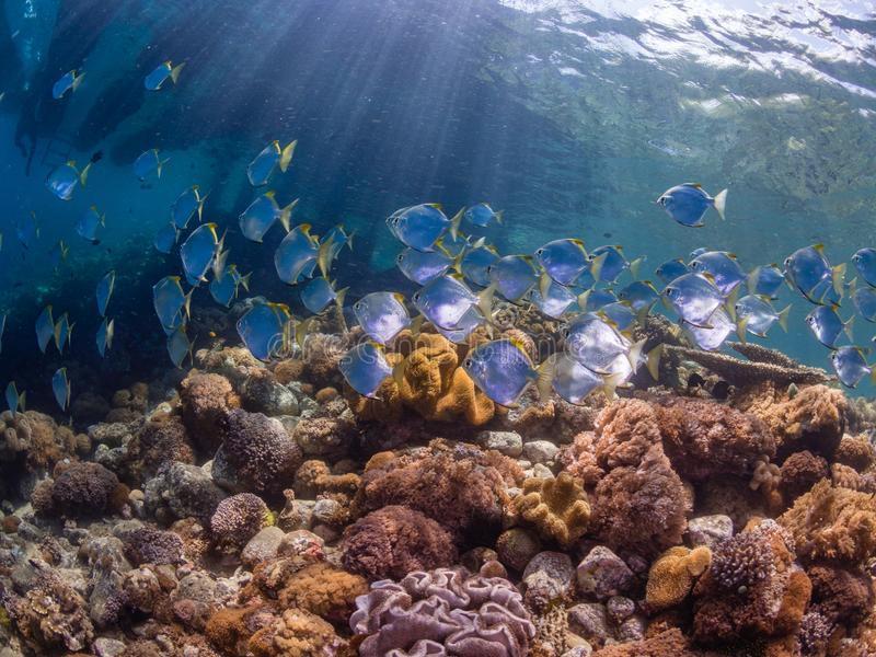 School of diamondfish on a pristine tropical coral reef stock photography