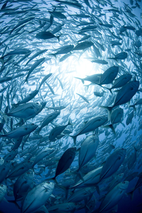 School of fish. A large school of fish swim in a circle, letting light through the waters in the middle royalty free stock photography