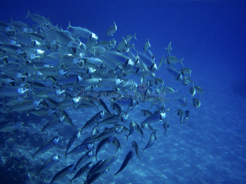 Sea ocean deep underwater fish school group life coral reef water background shoal under blue color scuba diver nature diving stock images