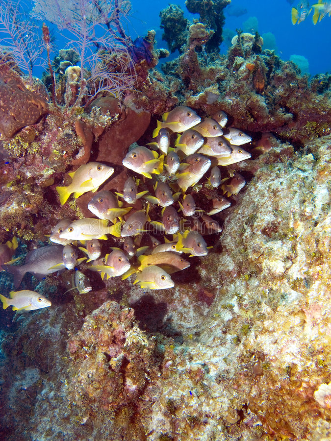 School of Fish on a Caribbean Reef. In the Cayman Islands royalty free stock images