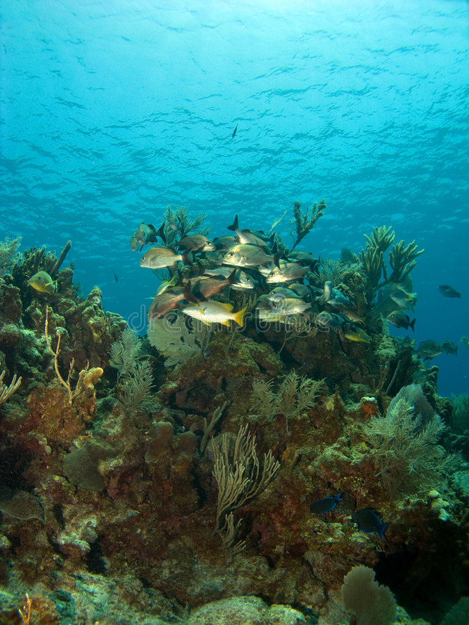 School of Fish on a Coral Head. In the Caribbean royalty free stock image