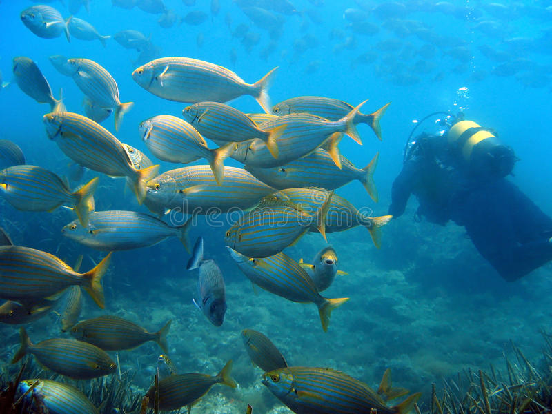 School Of Fish And Diver Stock Images