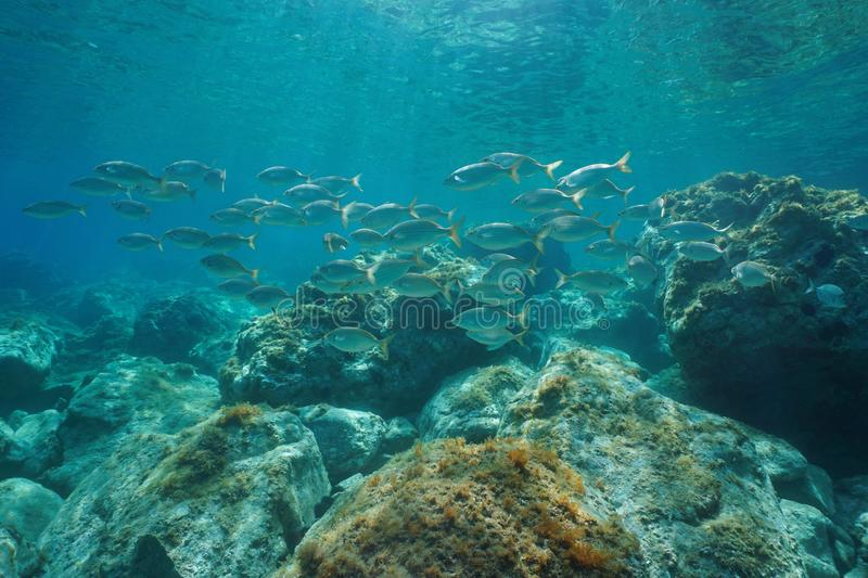 School of fish with rocks Mediterranean sea France. A school of fish, dreamfish Sarpa salpa, with rocks underwater in the Mediterranean sea, France royalty free stock photography