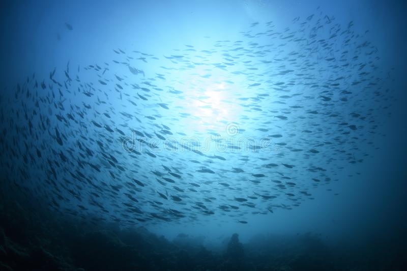 School of Fish Swimming in Blue Ocean Waters of Maldives stock image