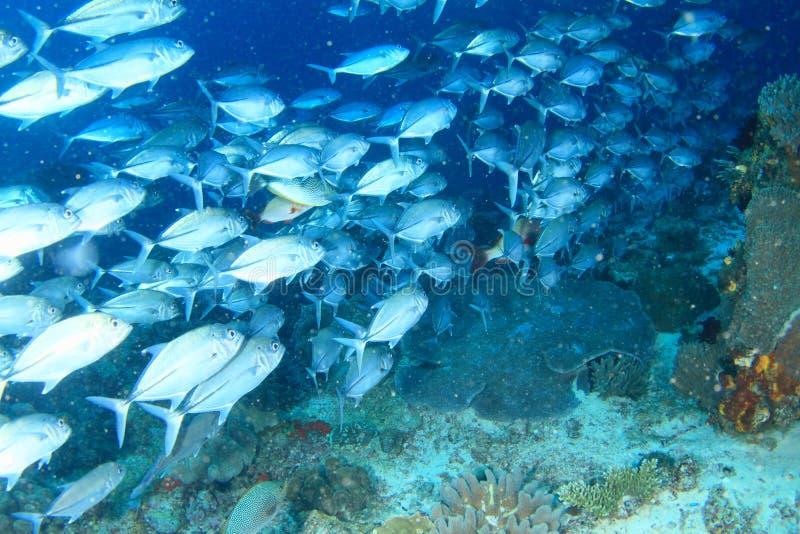 School of fish Torpedo scads. School of silver fish - Torpedo scad, hardtail scad, finny scad, finletted mackerel scad or cordyla scad, Megalaspis cordyla stock photos