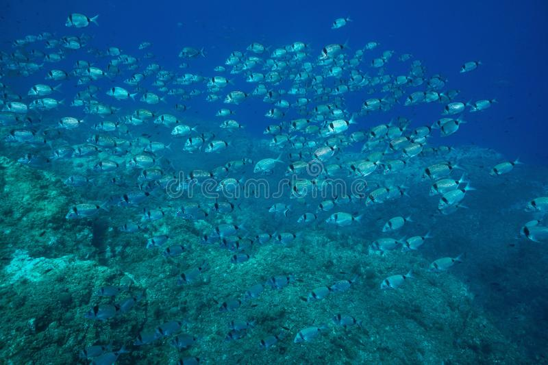 School of fish two banded seabream Mediterranean stock photography