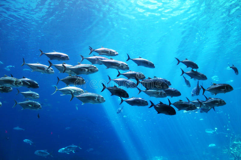 School of fish underwater at an aquarium royalty free stock image