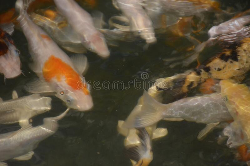 School of Fishes in the aquarium royalty free stock photography