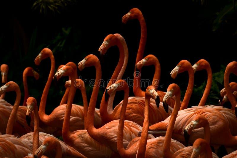 School of flamingo stock photo
