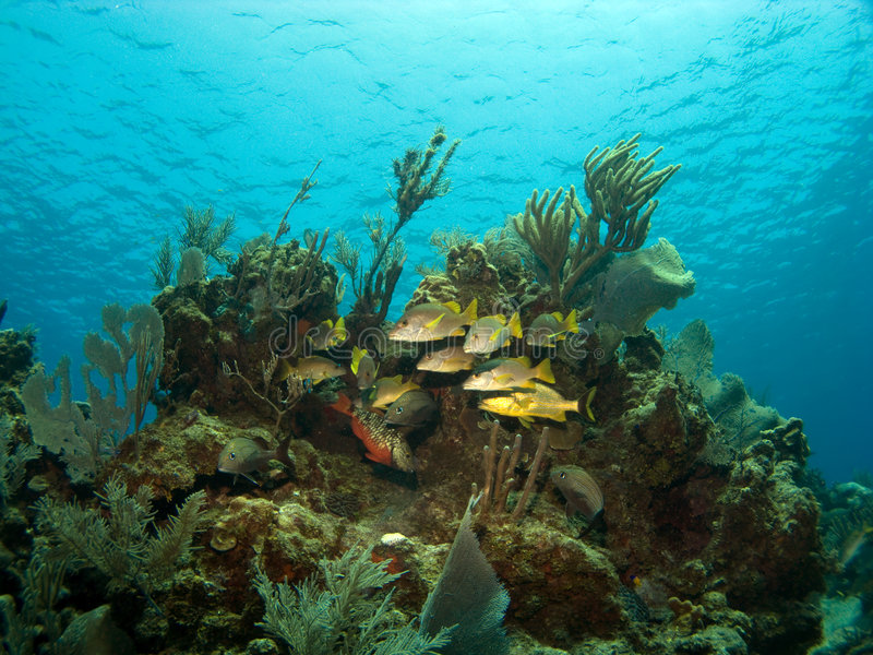 School of French Grunts with a Parrot Fish. Around a Coral head in Cayman Brac royalty free stock image
