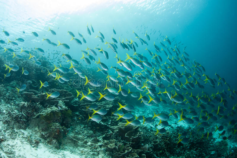 School of Fusilers Swimming by Reef stock images