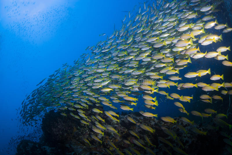 School of Fusiliers swimming over a reef royalty free stock photos