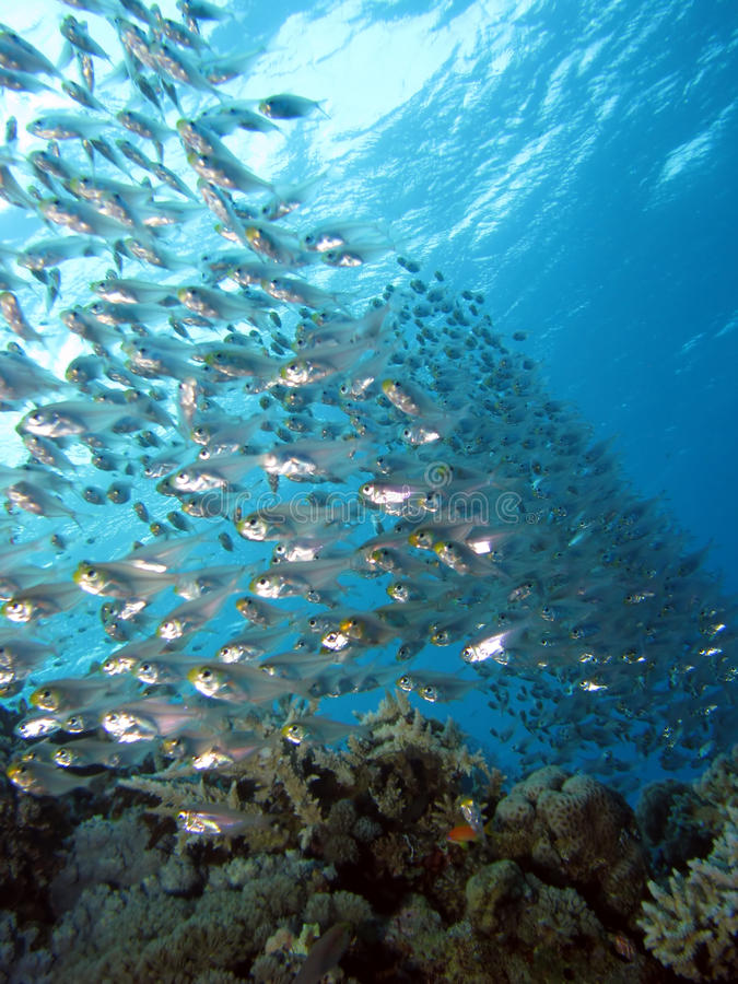 School of glass fish royalty free stock image