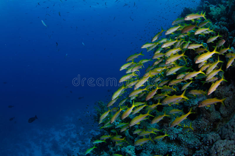 Download School of goatfish stock image. Image of scuba, water - 20622973