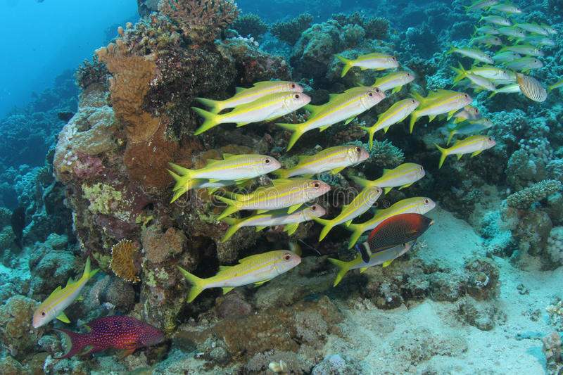 School of goatfish on a tropical coral reef. A school of yellow goatfish on a tropical coral reef in the Red Sea stock photo