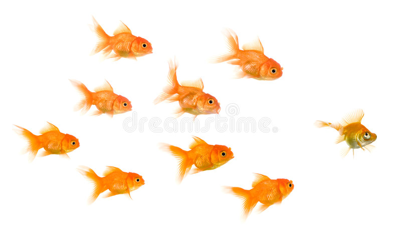 School of Goldfish stock image