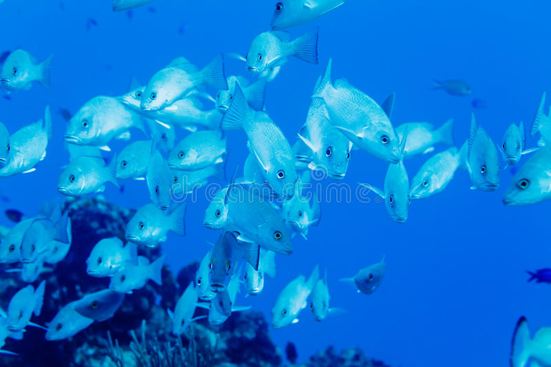School of Gray Snapper lutjanus griseus swimming in blue water stock photography
