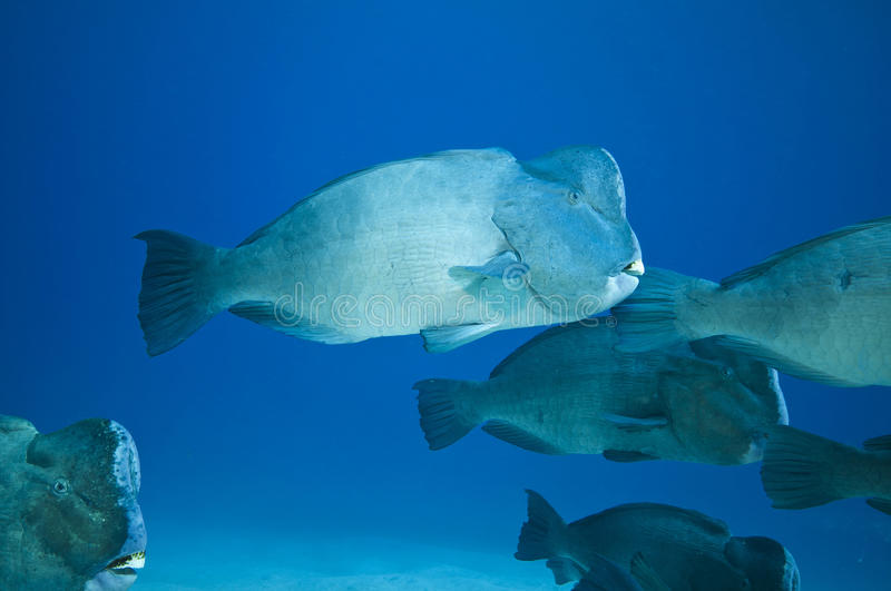 School of humphead fish royalty free stock images