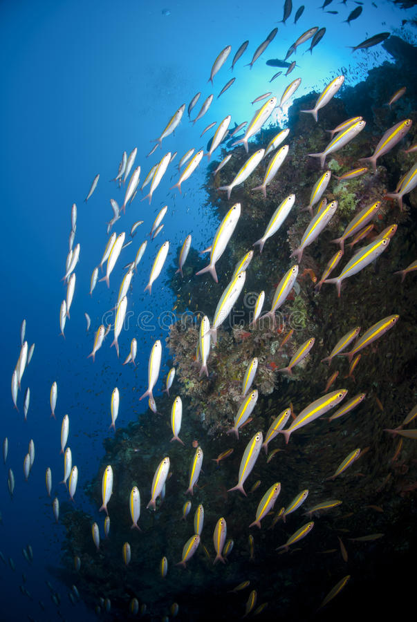 Free School Of Goldband Fusiliers Cruising The Reef. Royalty Free Stock Image - 16797706
