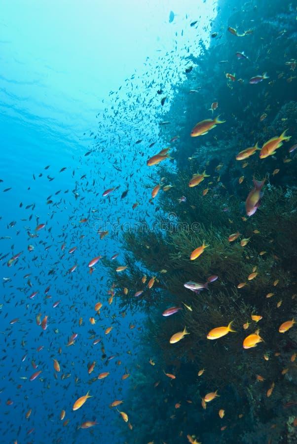 Free School Of Lyretail Anthias On A Tropical Reef Stock Photos - 14707673
