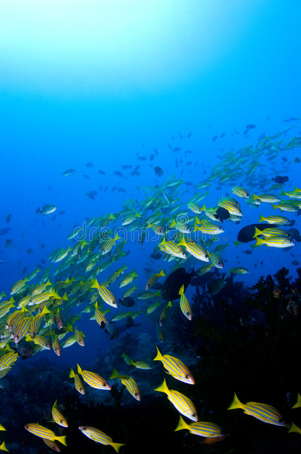 Free School Of Yellow Snappers Over Reef. Royalty Free Stock Image - 1784716