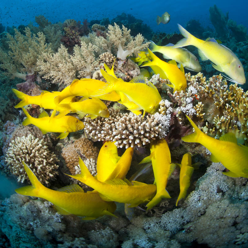 Free School Of Yellowsaddle Goatfish Foraging. Stock Photo - 18623640