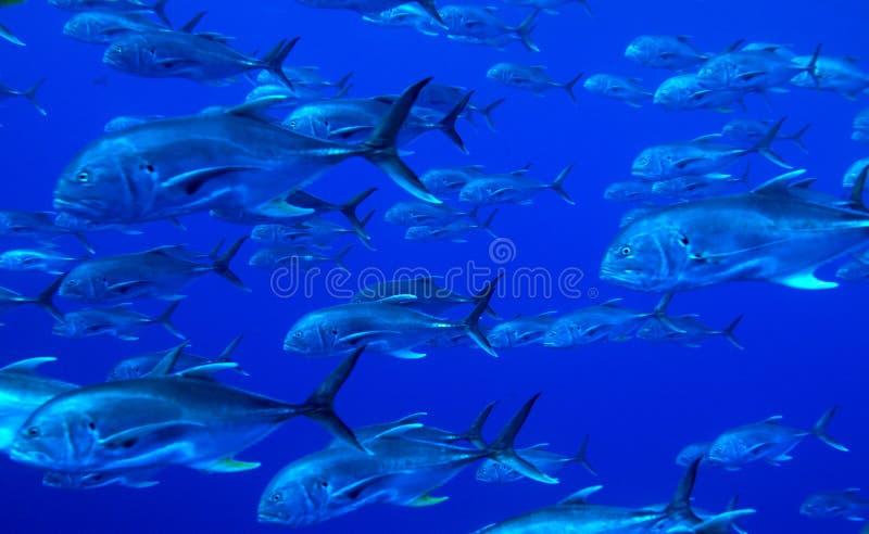 Download School Of Predator Fishes Stock Photo - Image: 26693410