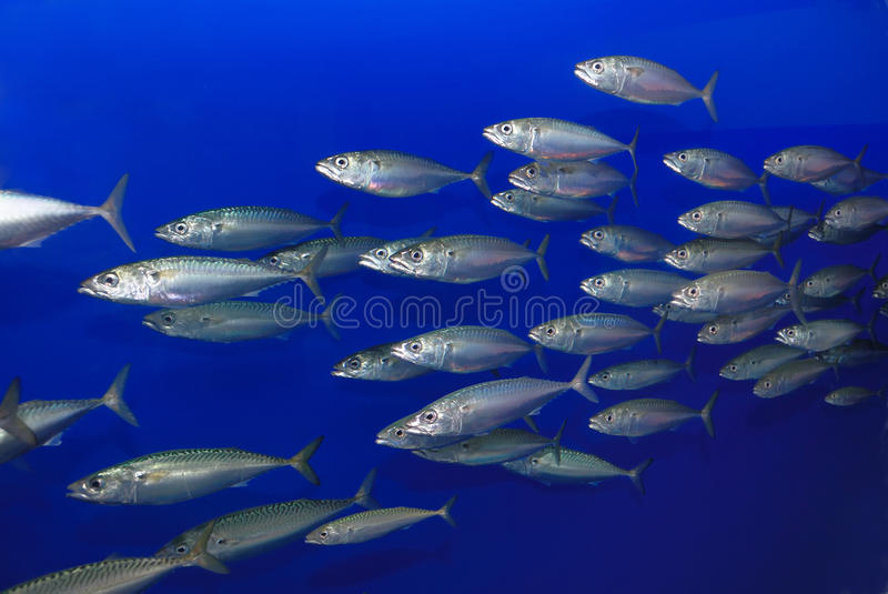 School of Sardines. Swimming with blue background stock image