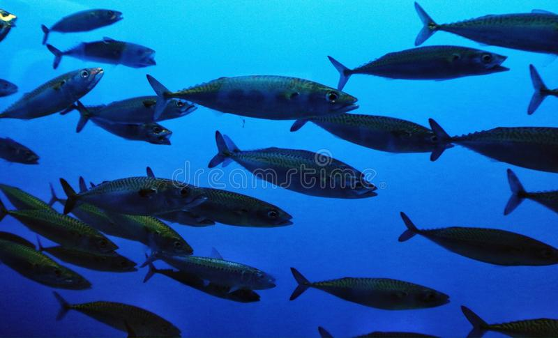 A school of sardines. Swimming together in an aquarium tank royalty free stock photography