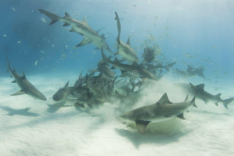 School of Scavenging Lemon Sharks royalty free stock photo