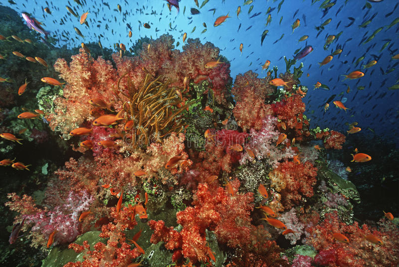 School of sea goldies amongst soft coral reef stock image