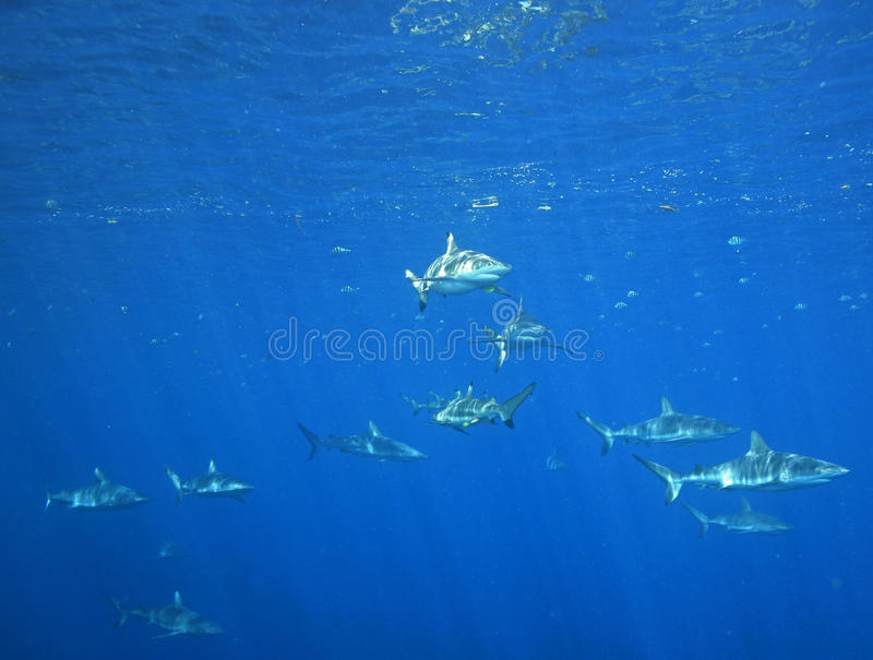 Download School of Sharks stock photo. Image of sharks, water - 13458690