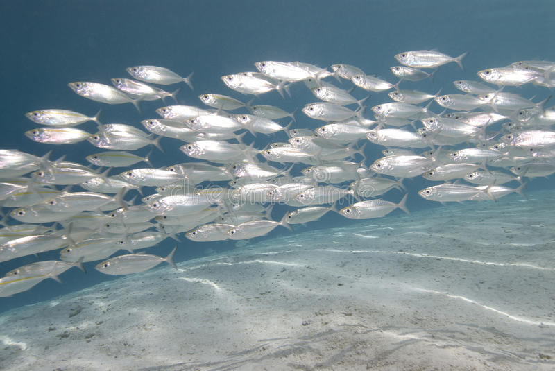 School of silver fish stock images