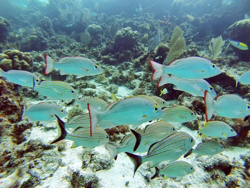School of silver fish in the Bay Islands of Belize stock photography