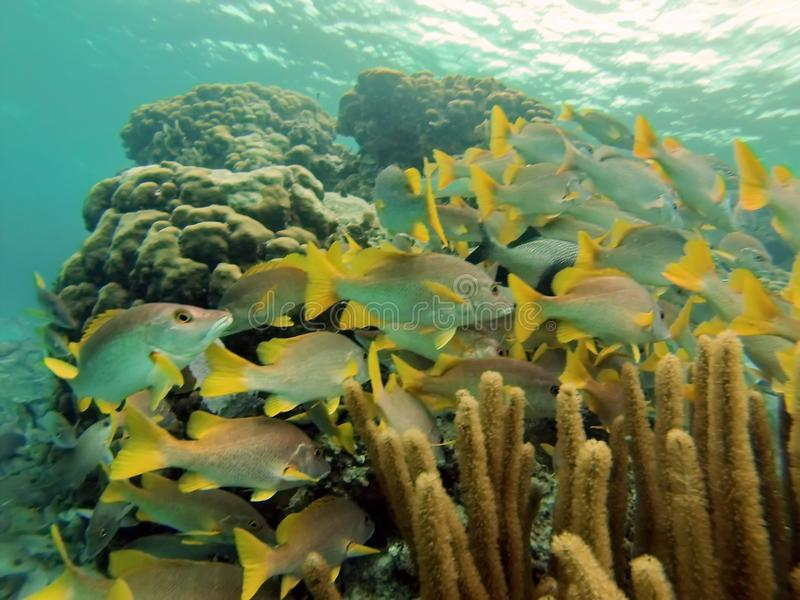 School of silver and yellow fish in the Bay Islands of Belize stock images