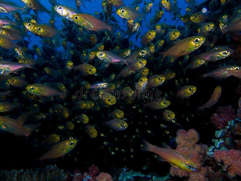 School of small Cardinal fish swimming towards the camera. royalty free stock image