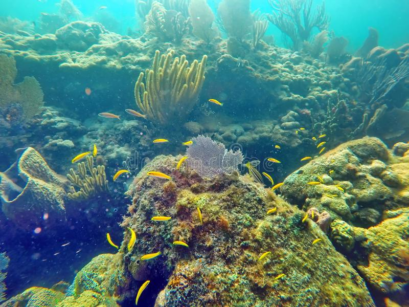 School of small yellow fish swimming among hard and soft corals stock image